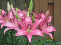 Trumpet Lily 7-3 02