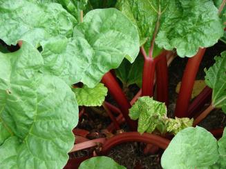 2016 rhubarb plant