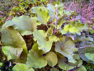 Not Rhubarb